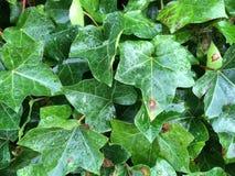 green leaves Arkivfoto