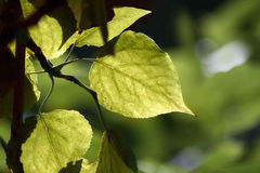 The green leaves. Shined by the sun Royalty Free Stock Photography