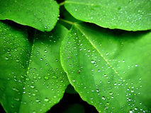 Green Leaves. Leaves with dew drops Stock Photography