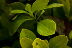 green leaves Royaltyfri Fotografi