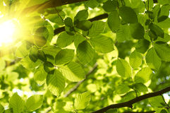 Green leaves. With sun rays Stock Images