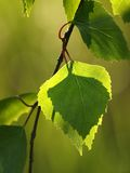 Green Leaves. Green birch leaves in the sun Stock Photo