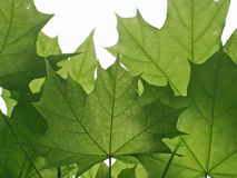 Green leaves. Several green leaves royalty free stock photography