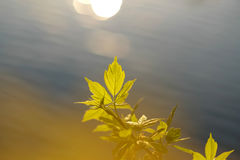 Green leaves above water Royalty Free Stock Photo