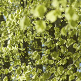 Green leaves, abstract foliage. Spring. Royalty Free Stock Photography