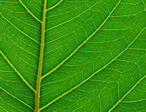 Green leaves. Royalty Free Stock Image