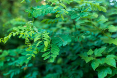 Green leaves. Acacia and other trees background royalty free stock photo