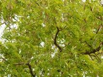 Green leaves acacia tree as a nature backgorund. Closeup green leaves on branch acacia tree as a nature backgorund outdoor Royalty Free Stock Photography