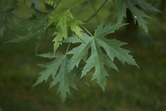 Acer saccharinum foliage. Green leaves of Acer saccharinum in spring royalty free stock images
