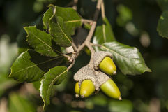 Green leaves and acorns of holm oak. Tree in autumn Stock Photos