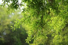 Green Leaves. The afternoon sun illuminates the green leaves of an oak tree in Florida Stock Photography