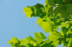 Green leaves against the blue sky Stock Photos
