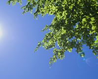 Green leaves against blue sky Royalty Free Stock Photo