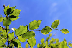 Green leaves against the blue sky Stock Photo