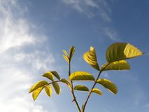 Green leaves against blue sky royalty free stock photography