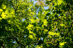 Green leaves against blue sky. Green maple leaves against blue sky background Royalty Free Stock Photography