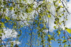 Green leaves against the blue sky. Stock Photography