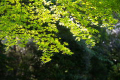 Green Leaves Against Bright Backlight Royalty Free Stock Photography