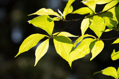 Green Leaves Against Bright Backlight Stock Photography