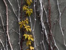 Green Leaves Against A Grey Slate Wall stock image