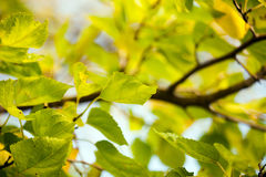Green leaves against   sky. Royalty Free Stock Photos