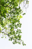 Green leaves against the sky Royalty Free Stock Photo
