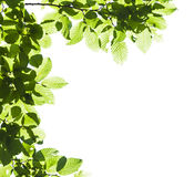 Green leaves against the sky. Copy space. Stock Photo