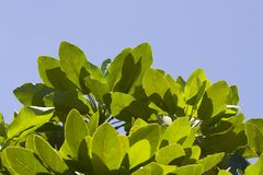 Green leaves against the sun. Over the blue sky Stock Image