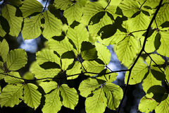 Green leaves against the sun. Stock Photo
