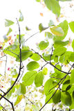 Green leaves against the sun. Royalty Free Stock Photos