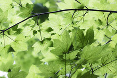 Green leaves against the sun. Stock Images