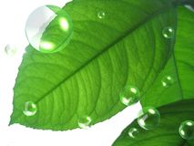 Green leaves with air bubbles. Green leaves of lemon with air bubbles on white background Stock Images