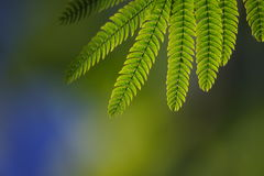 Green leaves of albiziae Stock Image