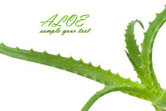 Green leaves of aloe plant Royalty Free Stock Photo