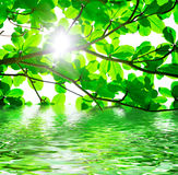 Green Leaves And Water Stock Photography