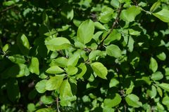 Green leaves of apple tree. Young foliage in spring.  stock photo