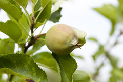 Green leaves of apple trees and apples Stock Image