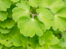 Green leaves of Aquilegia Royalty Free Stock Photo
