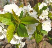 Green leaves around which are white flowers. A bee sits on one flower. stock photo