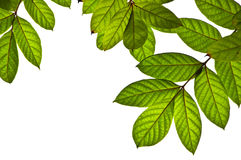 Green leaves as background Stock Photos