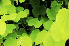 Green leaves overlap Royalty Free Stock Photography