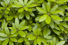 Green Leaves as texture Royalty Free Stock Photography