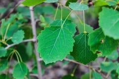 Green leaves aspen stock photos