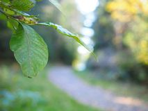 Green leaves and autumn trees. Green leaves overhanging path in forest as trees change to autumn yellow royalty free stock photos