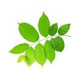 Green leaves av treeväxten som isoleras på vit backg arkivfoto