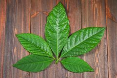 The green leaves of the avocado lie on a brown wooden table in the form of cannabis. Top view. Stock Image