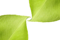 Green leaves background. Two green leaves on white background stock photography