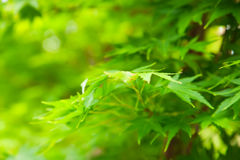 Green leaves background. Green tree leaves with a shallow focus Royalty Free Stock Image