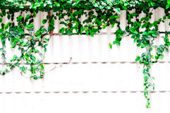 Green leaves background. Green leaves on white wall Royalty Free Stock Images