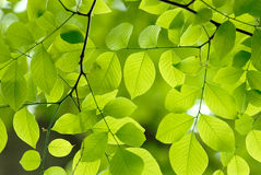 Green leaves background. Fresh green leaves of an American Yellow Wood Royalty Free Stock Images